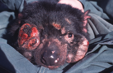 220px-Tasmanian Devil Facial Tumour Disease